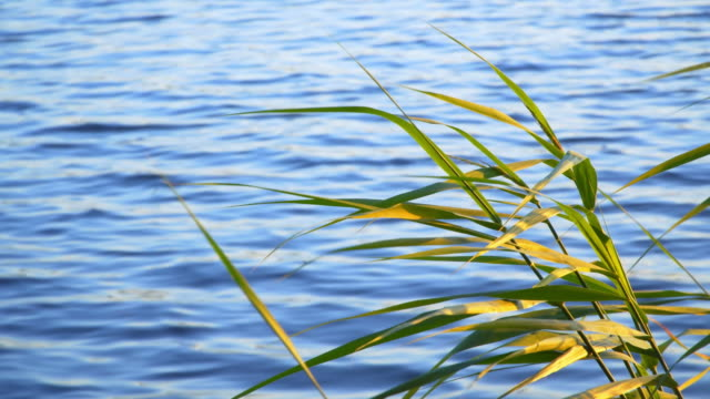 the reeds on a beautiful lake. video