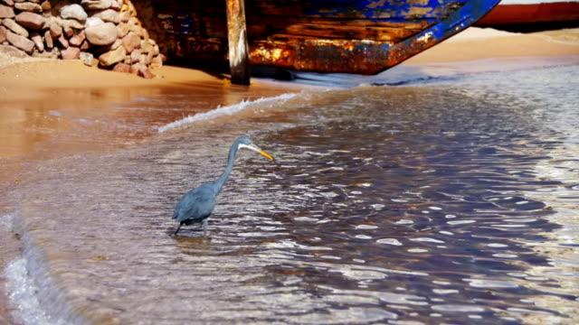 resif heron mısır'daki kızıl denizin sahilde balık avlıyor. ağır çekim - okyanus gemisi stok videoları ve detay görüntü çekimi