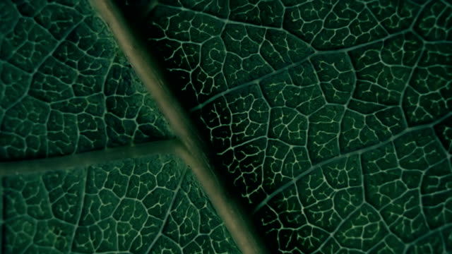 The relief, the volume and texture of plant leaf during changing light. Macro The relief, the structure and texture of plant leaf during changing light. Closeup leaf vein stock videos & royalty-free footage
