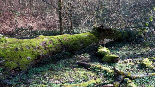 stockvideo's en b-roll-footage met het overblijfsel of de overblijfselen van een oude rotte boom die op de grond in het bos ligt dat met mos wordt behandeld - boomstam
