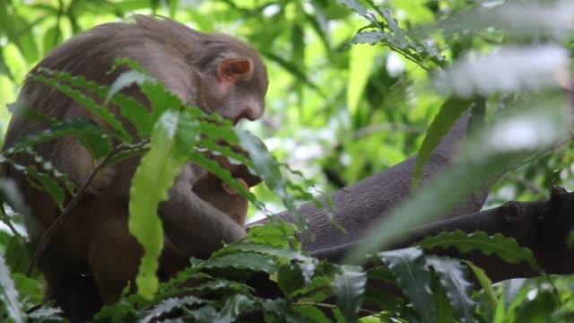 The Rhesus macaque Monkey