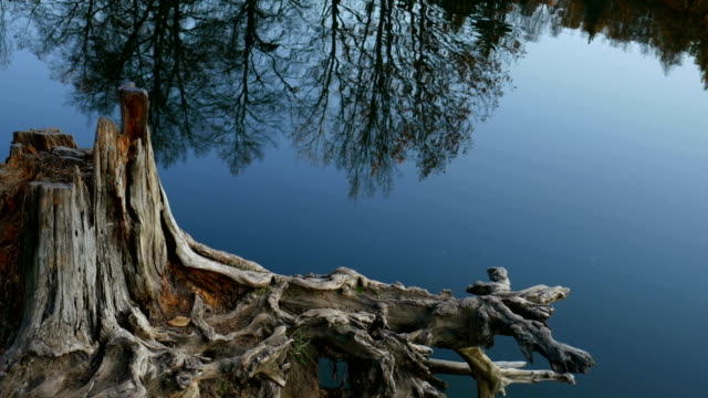 The rhizome of dry wood on the shore of the pond.