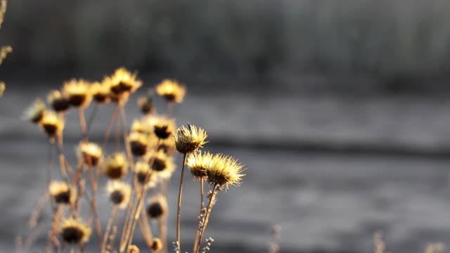 The rising autumn sun illuminates dry wild-growing flowers.