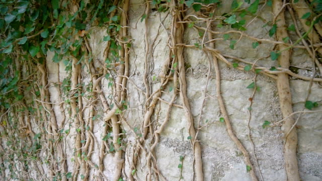 The roots of the tree grow on the old wall The roots of the tree grow on the old wall. sri lankan culture stock videos & royalty-free footage