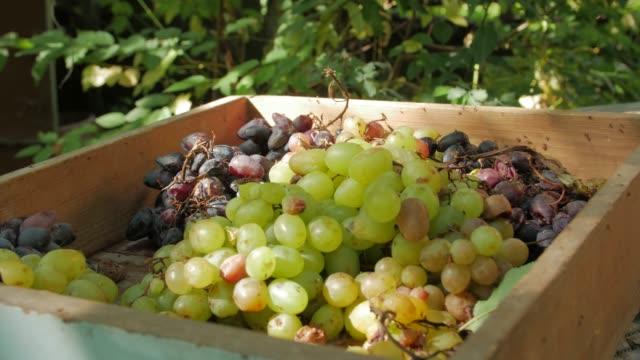 die rotten grapes frucht - verfault stock-videos und b-roll-filmmaterial