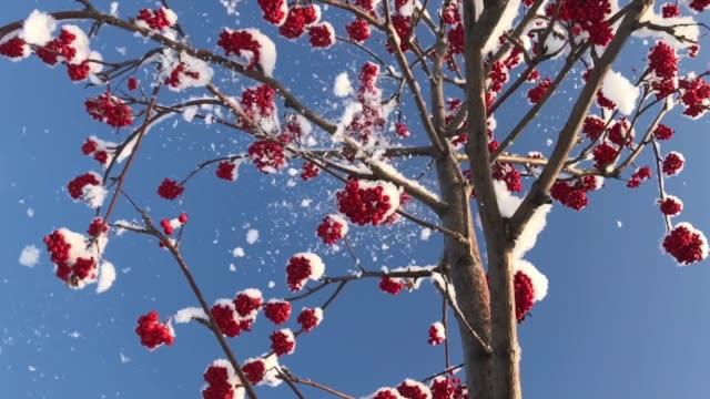 The Rowan Tree in Winter video