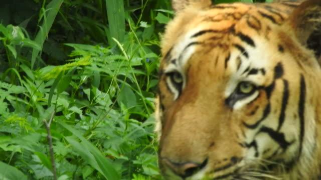 O Royal Tigre-da-Bengala em ambiente explosivo - vídeo