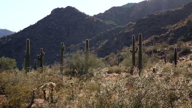 ソノラ砂漠でベンケイ サボテン - オコティロサボテン点の映像素材/bロール