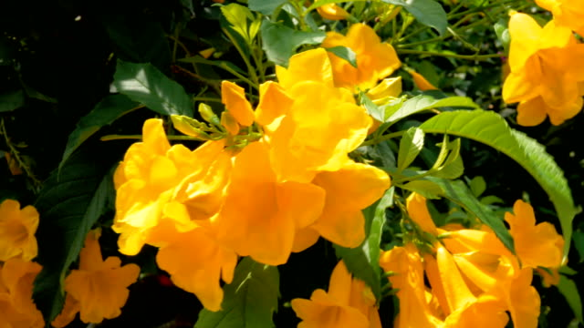 The scientific name of yellow elder: Tecoma stans (L.) Juss. Ex Kunth) is a small shrub. Bright yellow flowers, easy to grow and to breed in the tropics in general.