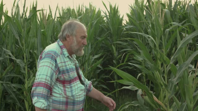 The senior farmer walks among green corn field and takes off a hat The senior farmer walks among green corn field and takes off a hat. Slowly in FullHD agricultural occupation stock videos & royalty-free footage
