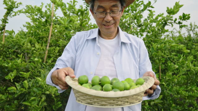 The senior man shows lemon in his garden, farmer, gardener.