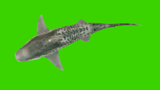 The shark swims under the water, the view from the top. 3d animation with green screen.