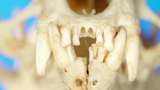 The sharp fangs of the Eurasian otter animal on a macro shot The sharp fangs of the Eurasian otter animal on a macro shot from its fossil remains animal whisker stock videos & royalty-free footage
