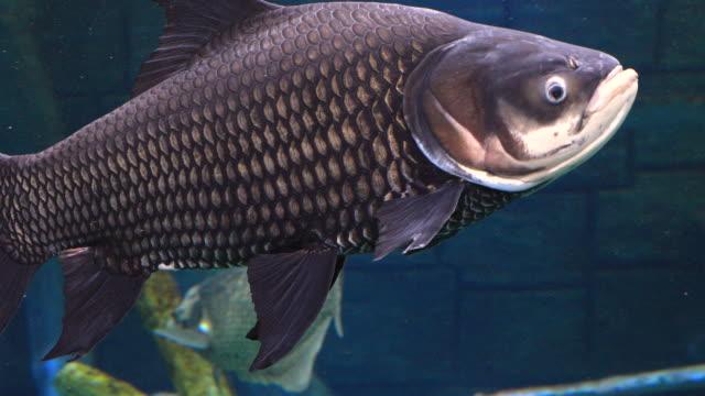 the siamese giant carp fish in freshwater. - karp filmów i materiałów b-roll