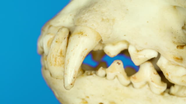 The side teeth and fangs of the Eurasian otter on a macro shot The side teeth and fangs of the Eurasian otter on a macro shot of its fossil remains animal whisker stock videos & royalty-free footage