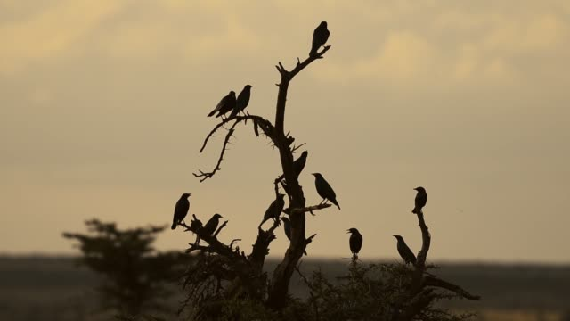 The silhouette Of Birds Sit At the top of The Bare Tree Inside The El Karama Lodge In Laikipia, Kenya. -wide shot