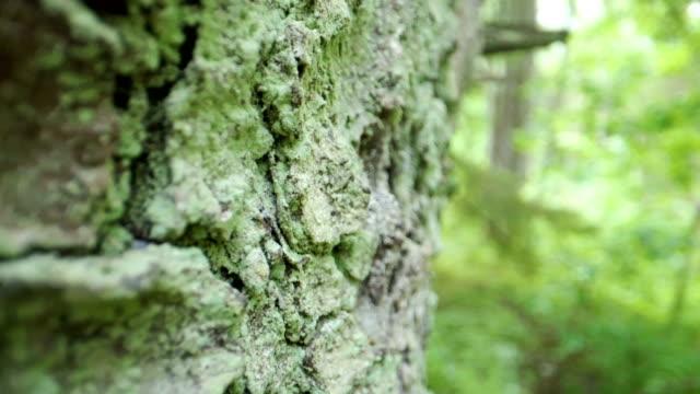 よく見た白樺の木の皮 ビデオ