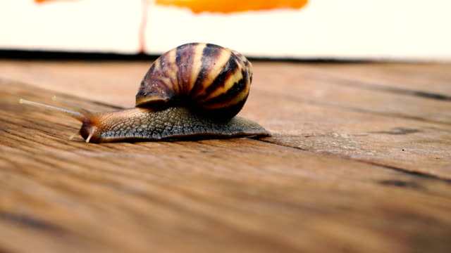The snail is moving slowly on the wooden floor.