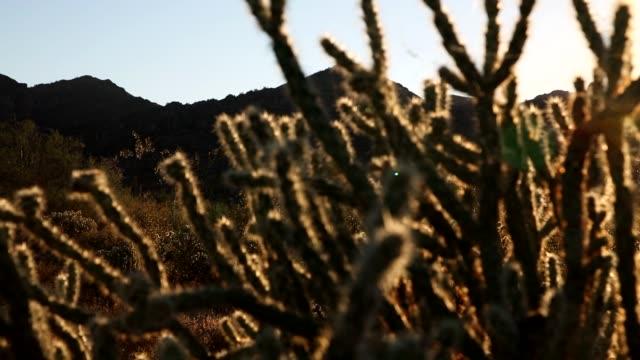 ソノラ砂漠の夕日 - オコティロサボテン点の映像素材/bロール