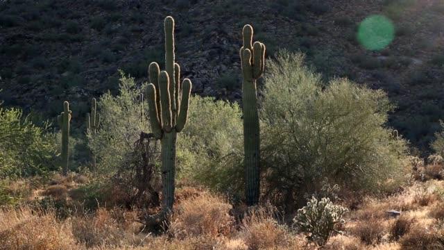 ソノラ砂漠 - オコティロサボテン点の映像素材/bロール