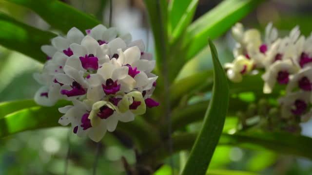 die arten orchideen ist rhynchostylis gigantea auf natur hintergrund, schöne orchideen rhynchostylis gigantea aus thailand im kinderzimmer bauernhof hintergrund, selektiven fokus. - orchidee stock-videos und b-roll-filmmaterial