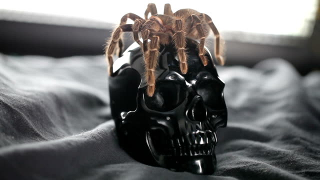 The spider crawls and sits on the skull video