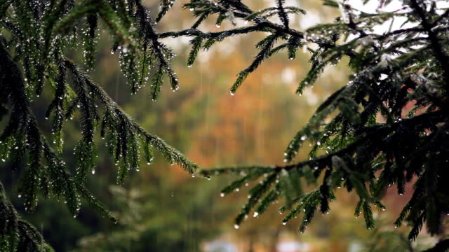 The spruce branches in the rain. video