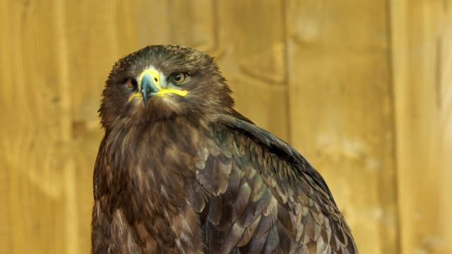 The steppe eagle is a bird of prey. (Aquila rapax) video