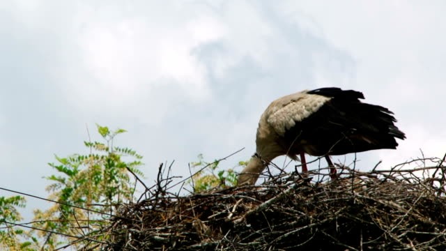 the stork builds a large nest video