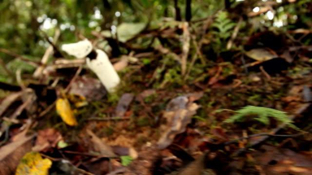 The Strangled Stinkhorn (Staheliomyces cinctus)