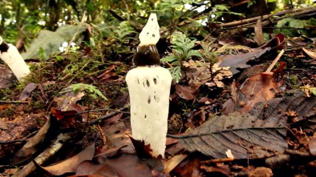 the strangled stinkhorn (staheliomyces cinctus) - penis stok videoları ve detay görüntü çekimi