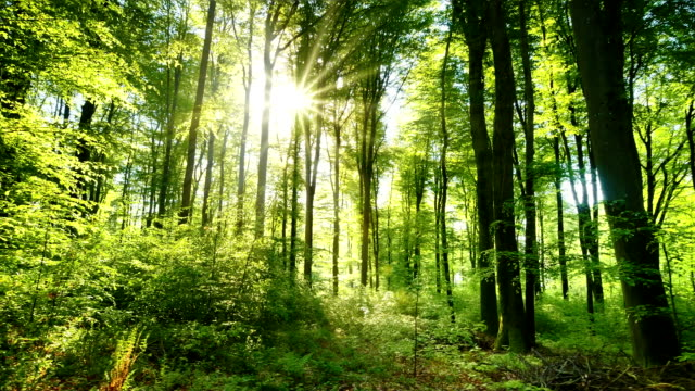 The sun casts its beautiful rays into the fresh green forest, time lapse