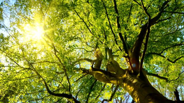 vídeos de stock, filmes e b-roll de o sol que brilha delicadamente através de uma grande árvore de faia - primavera estação do ano