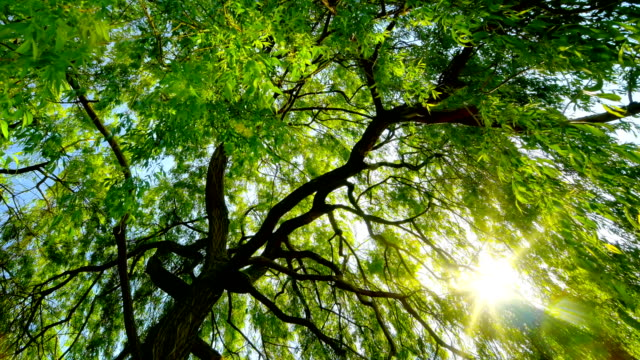 the sun gently shining through a weeping willow - fronda video stock e b–roll