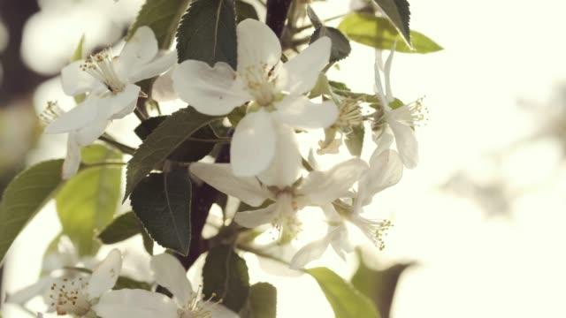 solen lyser upp fruktträdet. - fruktträdgård bildbanksvideor och videomaterial från bakom kulisserna