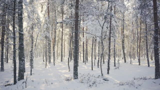 vídeos de stock e filmes b-roll de the sun in the forest through the pines - passagem de ano