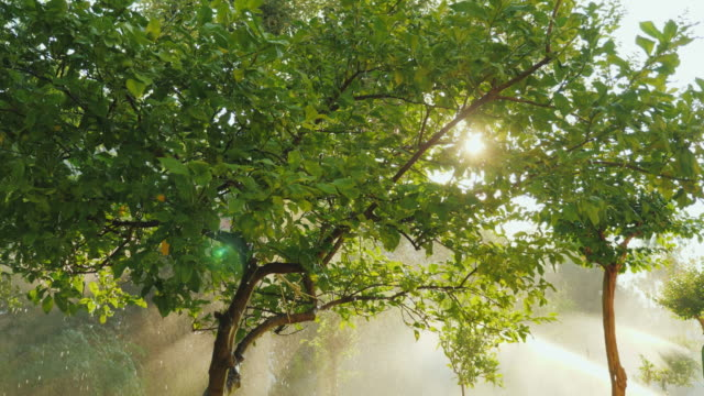 The sun shines through the branches of a lemon tree in the garden video