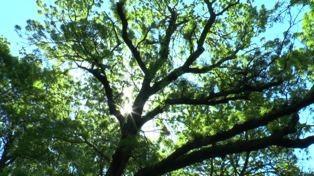 The sun shines through the branches of an old tree The sun shines through the branches of an old and large tree daylight savings stock videos & royalty-free footage