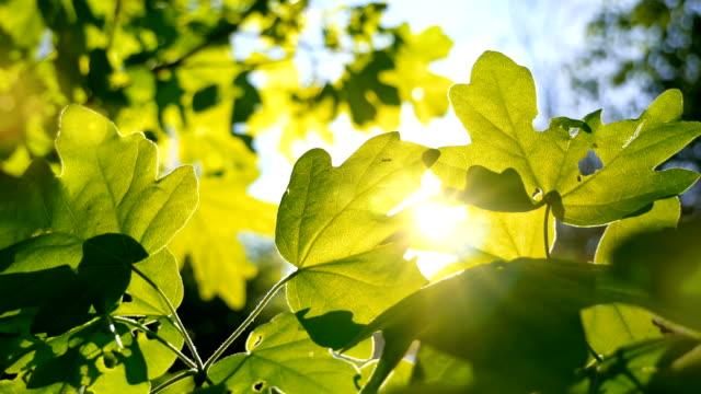 vídeos de stock, filmes e b-roll de o sol que brilha através da folha verde movente - primavera estação do ano