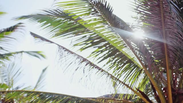 The sun's rays make their way through the leaves of the palm tree. Lens flare effect. 1920x1080 video