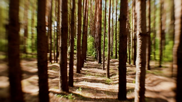 The sun's rays make their way through the trunks of fir trees in the forest video