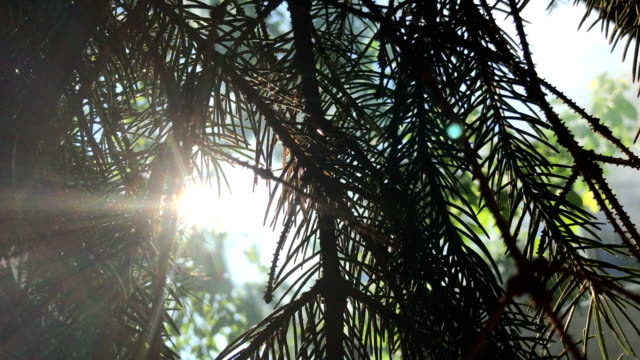the Sun's rays shine through the Green sprigs video