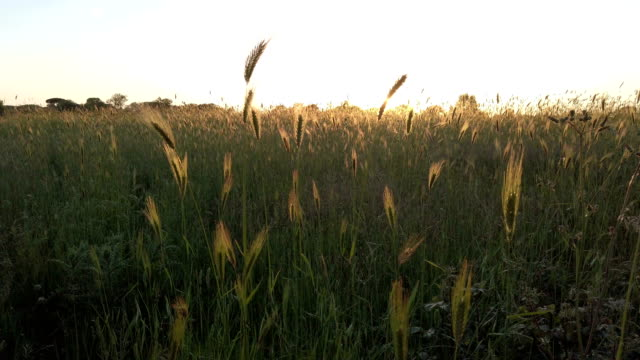 The sunset watched from the ears stirred by the summer breeze in a relaxing atmosphere The sunset watched from the ears stirred by the summer breeze in a relaxing atmosphere grass area stock videos & royalty-free footage