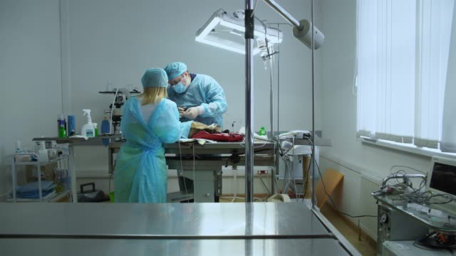 The surgery in the veterinary clinic. The team of two veterinary doctors, the man, surgeon, and the woman, nurse, sawing the cat in the operational room. video