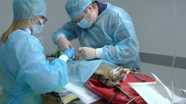 vídeos de stock, filmes e b-roll de a cirurgia na clínica veterinária. a equipe dos dois médicos veterinários, cirurgião, o homem e a mulher, enfermeira, serrar o gato na sala operacional. - felino