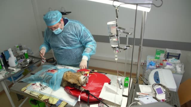 The surgery in the veterinary clinic. The veterinary doctor sawing the cat in the operational room. Top view directly above. video