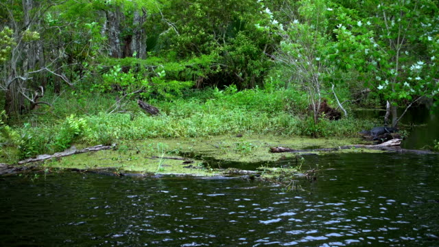 The Swamps in Louisiana and its wildlife - alligator video