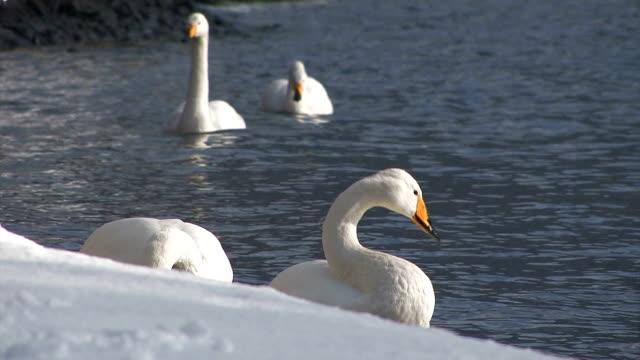 十和田市の白鳥の湖、青森、日本 - 冬点の映像素材/bロール