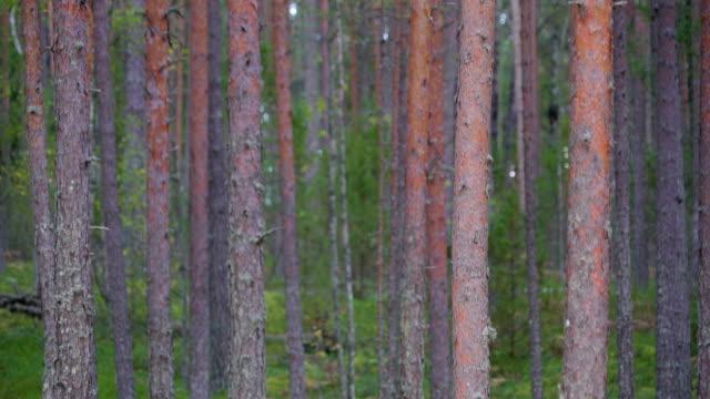de höga stammarna av träden i skogen av piusa - fur bildbanksvideor och videomaterial från bakom kulisserna