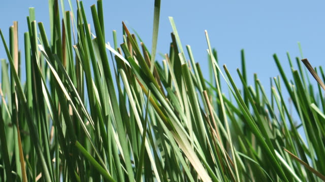 The tall Typha Latifolia grass on the field.